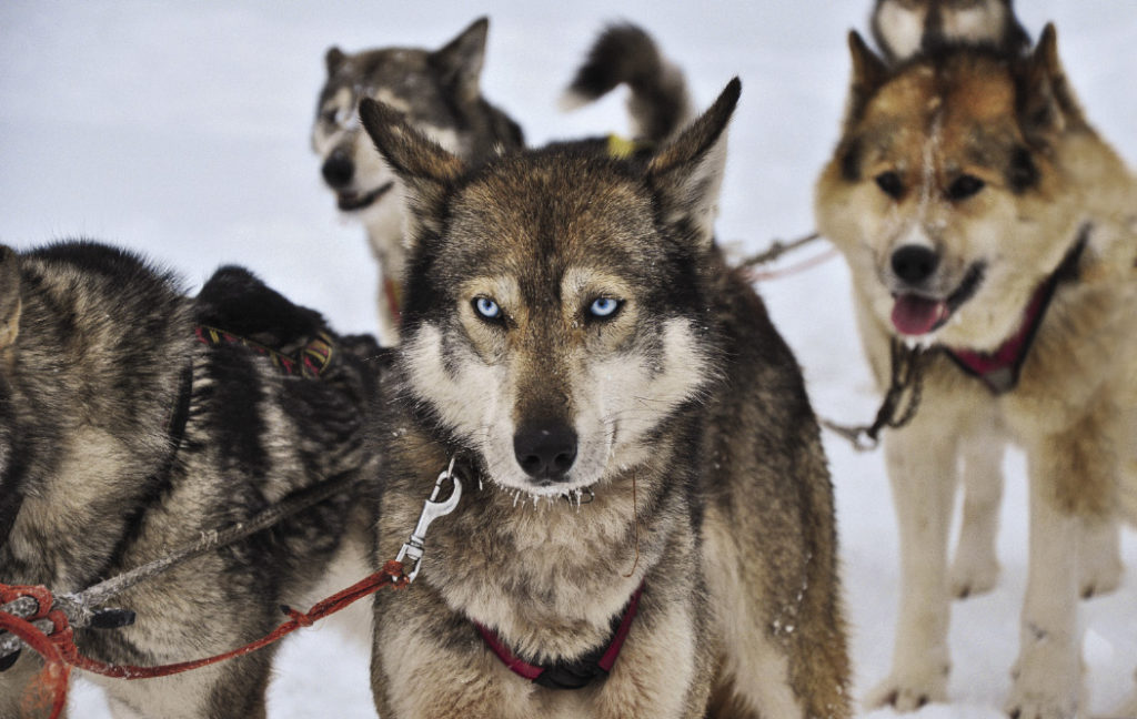 Huskies are the most common sled dogs on the peninsula, and a ride with a dog team is one of the most popular tourist activities